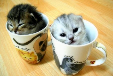 Kittenscups